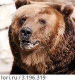Купить «Бурый медведь», фото № 3196319, снято 8 апреля 2009 г. (c) Татьяна Белова / Фотобанк Лори