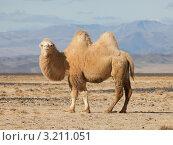 Купить «Бактрийский верблюд в степях Монголии», фото № 3211051, снято 9 октября 2011 г. (c) hunta / Фотобанк Лори