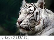 Купить «Белый бенгальский тигр», фото № 3213183, снято 8 апреля 2009 г. (c) Татьяна Белова / Фотобанк Лори