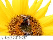 Две пчелы собирают пыльцу с подсолнуха. Стоковое фото, фотограф Светлана Чебаева / Фотобанк Лори