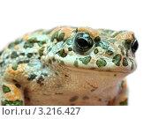 Портрет жабы на белом фоне. Стоковое фото, фотограф Михаил Коханчиков / Фотобанк Лори