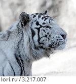 Купить «Белый бенгальский тигр в профиль», фото № 3217007, снято 8 апреля 2009 г. (c) Татьяна Белова / Фотобанк Лори