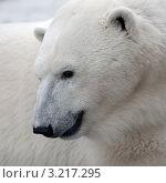 Купить «Белый медведь. Портрет», фото № 3217295, снято 3 февраля 2009 г. (c) Татьяна Белова / Фотобанк Лори