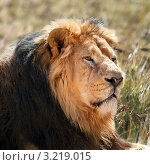 Купить «Лев. Крупный план», фото № 3219015, снято 8 сентября 2011 г. (c) Татьяна Белова / Фотобанк Лори