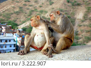Купить «Две обезьянки», фото № 3222907, снято 17 апреля 2011 г. (c) Светлана Колобова / Фотобанк Лори