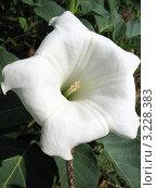 Купить «Цветок дурмана (Datura) семейства Паслёновых (Solanaceae)», фото № 3228383, снято 2 сентября 2011 г. (c) Заноза-Ру / Фотобанк Лори