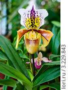 Орхидея венерин башмачок (paphiopedilum) Стоковое фото, фотограф Алексей Литягов / Фотобанк Лори