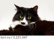 Купить «Портрет кота», фото № 3231047, снято 7 февраля 2012 г. (c) Куликова Вероника / Фотобанк Лори