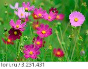 Розовые декоративные цветы. Стоковое фото, фотограф Olsi / Фотобанк Лори
