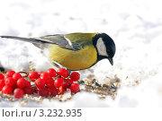 Купить «Большая синица или большак.The Great Tit (Parus major).», фото № 3232935, снято 6 февраля 2012 г. (c) Федор Королевский / Фотобанк Лори