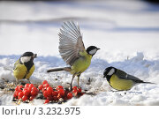 Большая синица на взлёте.The Great Tit (Parus major). Стоковое фото, фотограф Федор Королевский / Фотобанк Лори