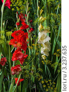 Цветущие гладиолусы. Стоковое фото, фотограф Aleksandrs Jemeļjanovs / Фотобанк Лори