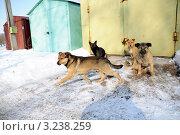 Купить «Бездомные собаки на территории Гаражно-строительный кооператив (ГСК)», фото № 3238259, снято 9 февраля 2012 г. (c) Олег Пчелов / Фотобанк Лори