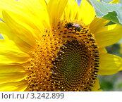 Цветущий подсолнух крупным планом и пчела в лучах солнца. Стоковое фото, фотограф Ершова Дора Владимировна / Фотобанк Лори