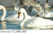 Купить «Лебеди на озере зимой», видеоролик № 3244387, снято 11 февраля 2012 г. (c) Владимир Никулин / Фотобанк Лори