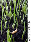 Купить «Проросшие зерна овса», фото № 3245547, снято 11 декабря 2011 г. (c) Андрей Штанько / Фотобанк Лори