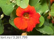 Купить «Настурция (Tropaeolum)», эксклюзивное фото № 3261799, снято 4 июля 2010 г. (c) Алёшина Оксана / Фотобанк Лори