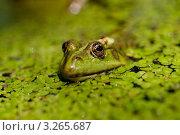 Лягушка в озере в ряске. Стоковое фото, фотограф Мария Калиниченко / Фотобанк Лори