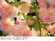 Купить «Шток-роза (Alcea rosea)», эксклюзивное фото № 3267211, снято 3 августа 2010 г. (c) Александр Алексеев / Фотобанк Лори