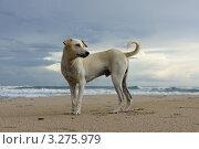 Купить «Пёс на берегу моря», фото № 3275979, снято 12 декабря 2011 г. (c) Светлана Попова / Фотобанк Лори