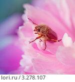 Майский жук на пионе. Стоковое фото, фотограф Мария Калиниченко / Фотобанк Лори