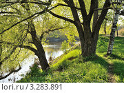 Раскидистые ивы. Стоковое фото, фотограф Маргарита Смирнова / Фотобанк Лори