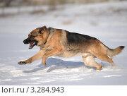 Собака породы немецкая овчарка бежит по снегу. Стоковое фото, фотограф Антонова Виктория Юрьевна / Фотобанк Лори