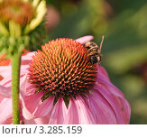 Купить «Розовая рудбекия, Эхинацея пурпурная (Echinacea purpurea)», эксклюзивное фото № 3285159, снято 17 августа 2011 г. (c) Алёшина Оксана / Фотобанк Лори