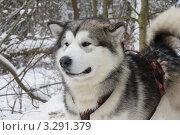 Купить «Ездовая собака, фокус на морде собаки», фото № 3291379, снято 26 февраля 2012 г. (c) Людмила Осокина / Фотобанк Лори
