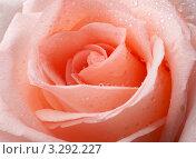 Роза в капельках росы. Стоковое фото, фотограф Татьяна Иванова / Фотобанк Лори
