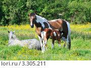 Купить «Кобыла кормит своего  жеребенка на лугу», фото № 3305211, снято 20 июня 2011 г. (c) Татьяна Кахилл / Фотобанк Лори