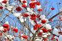 Куст калины под снегом, эксклюзивное фото № 3316007, снято 1 марта 2012 г. (c) Елена Коромыслова / Фотобанк Лори