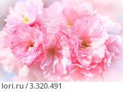 Купить «Цветущая сакура», фото № 3320491, снято 4 апреля 2020 г. (c) Sergey Borisov / Фотобанк Лори