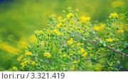 Купить «Желтые лютики на лугу», видеоролик № 3321419, снято 4 марта 2012 г. (c) Евгений / Фотобанк Лори