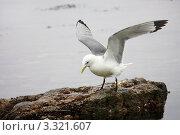 Морская чайка пробует крылья. Стоковое фото, фотограф Госьков Александр / Фотобанк Лори