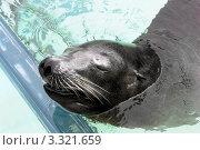 Тюлень спит. Стоковое фото, фотограф Олеся Довженко / Фотобанк Лори