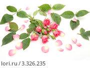 Букет розовых роз. Стоковое фото, фотограф Елена Иценко / Фотобанк Лори