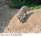Купить «Бенгальский (белый) тигр в зоопарке», эксклюзивное фото № 3329091, снято 3 июля 2011 г. (c) Алёшина Оксана / Фотобанк Лори