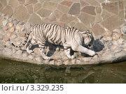 Купить «Бенгальский (белый) тигр у воды», эксклюзивное фото № 3329235, снято 3 июля 2011 г. (c) Алёшина Оксана / Фотобанк Лори
