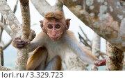 Купить «Маленькая обезьянка в ветвях дерева. Шри Ланка», фото № 3329723, снято 11 декабря 2010 г. (c) E. O. / Фотобанк Лори