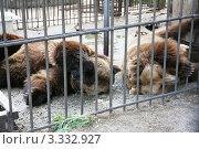 Бурые медведи в вольере. Стоковое фото, фотограф Павел Торхов / Фотобанк Лори