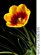 Купить «Тюльпаны на темном фоне», фото № 3336515, снято 11 марта 2012 г. (c) Михаил Ястребов / Фотобанк Лори