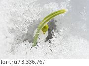 Купить «Подснежник - первый весенний цветок пробивается из-под снега», фото № 3336767, снято 10 марта 2012 г. (c) Александр Куличенко / Фотобанк Лори