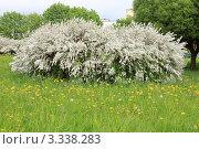 Белый цветущий весенний куст. Стоковое фото, фотограф UladzimiR / Фотобанк Лори