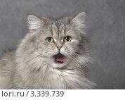 Кошка на сером фоне. Стоковое фото, фотограф Михаил Ястребов / Фотобанк Лори