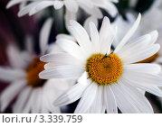 Ромашки. Стоковое фото, фотограф Андрей Самолинов / Фотобанк Лори