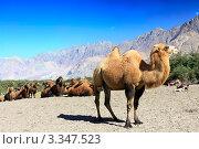 Купить «Караван верблюдов в песчаной долине Нубра. Ладакх. Индия», фото № 3347523, снято 7 сентября 2011 г. (c) Татьяна Белова / Фотобанк Лори