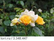 Желтые и белые розы в саду. Стоковое фото, фотограф Татьяна Кахилл / Фотобанк Лори