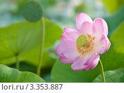 Купить «Цветок лотоса крупным планом», фото № 3353887, снято 6 августа 2011 г. (c) Руднева Ольга / Фотобанк Лори