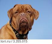 Купить «Собака породы бордоский дог на фоне неба», фото № 3355015, снято 16 марта 2012 г. (c) Сергей Емельянов / Фотобанк Лори